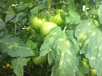 Болезни помидоров: фото и их лечение