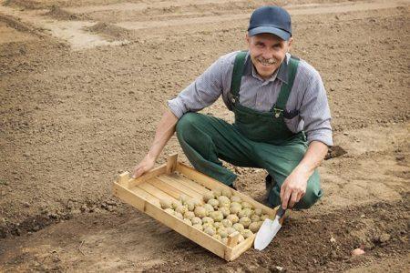 сажаем картофель правильно