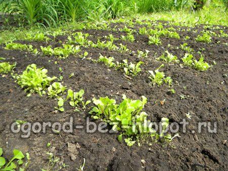 Всходы листового салата в открытом грунте