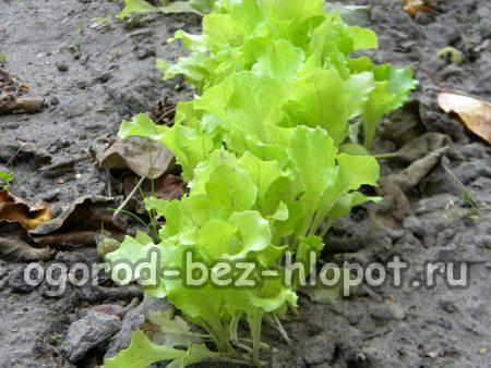Как вырастить салат на грядке