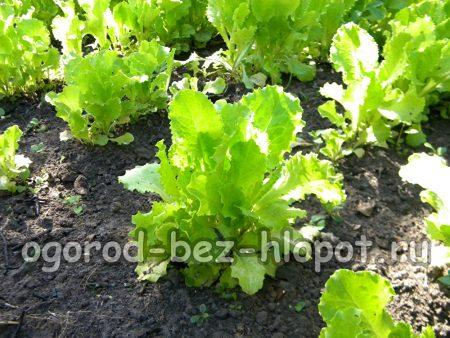 Выращивание салата на грядке