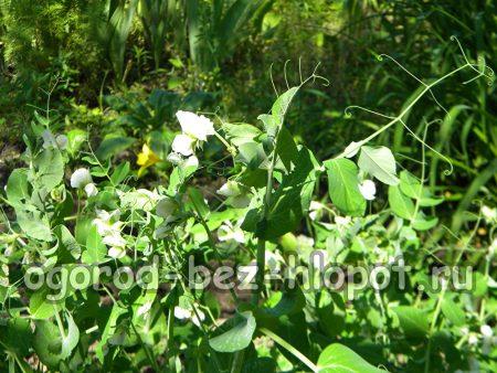 Цветущий зеленый горошек