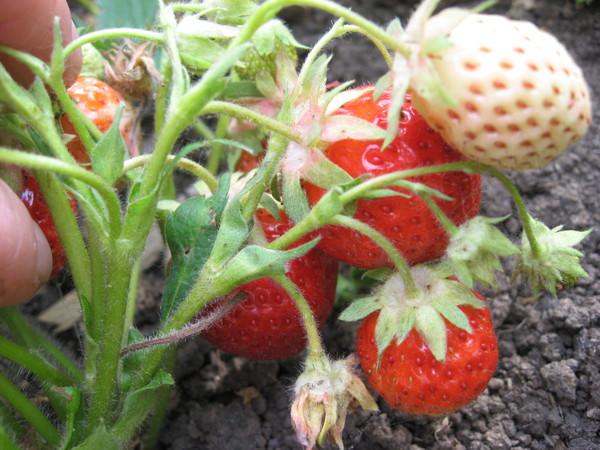 Подкормка клубники во время цветения и плодоношения