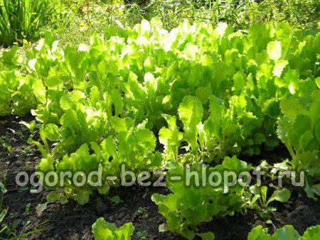 Как вырастить листовой салат на даче