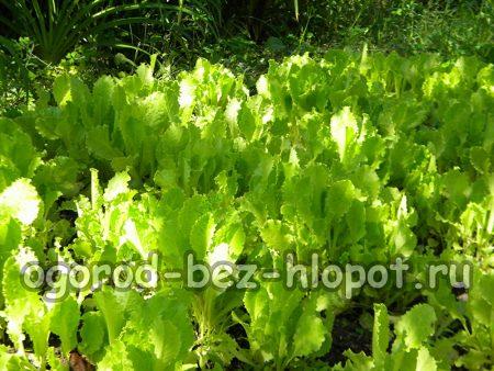 Выращивание салата в открытом грунте: посадка и уход