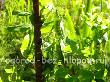 выращивание гороха на даче