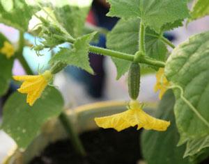 Почему не растут огурцы в теплице: завязи много, а не растут