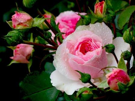 болезни роз фото описание лечение