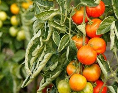 Почему скручиваются листья у томатов в теплице, что делать