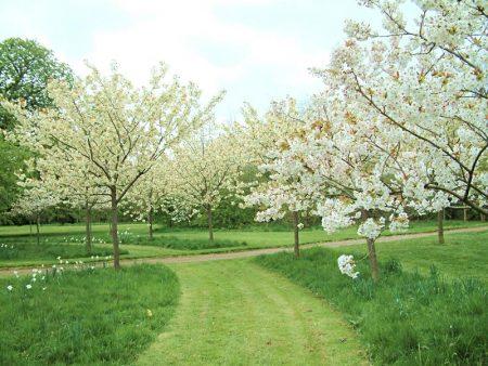 Вишня цветет, но не плодоносит- что делать