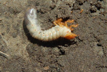 Как бороться с личинками майского жука самостоятельно