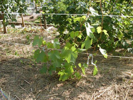 Как ухаживать за виноградом весной, чтобы был хороший урожай