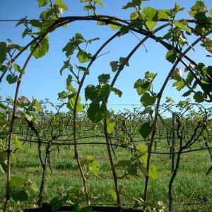 Как ухаживать за виноградом, чтобы был хороший урожай