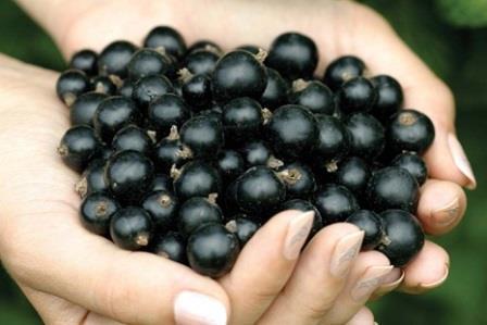 Как ухаживать за смородиной весной, чтобы был хороший урожай