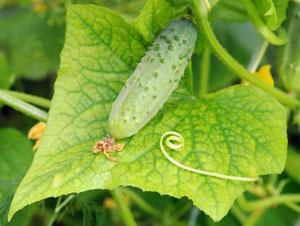 Почему желтеют листья у огурцов в теплице и как с этим бороться