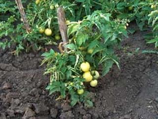 Чем удобрять помидоры