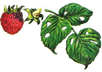 болезни и вредители малины в картинках1