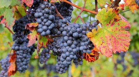 весенний уход за виноградом