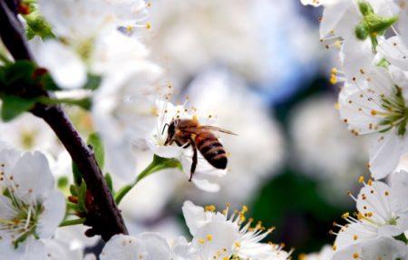 проблемы при выращивании вишни
