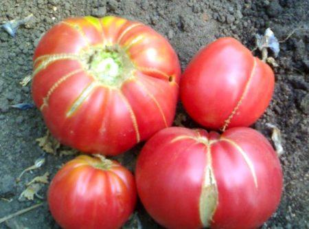 томат бабушкин секрет его выращивание и отзывы о нем