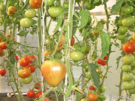 томат краснобай