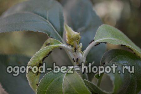 Болезни яблони: описание с фотографиями и способы лечения