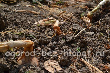 Репчатый лук – посадка, выращивание и уход
