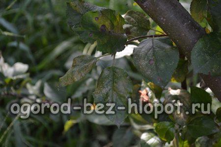 Болезни яблони: описание с фотографиями