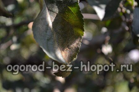 Яблоневый грибок