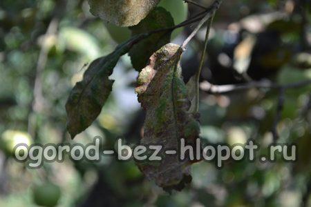 Плодовая гниль на яблони