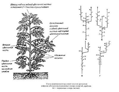 Помидоры в теплице: выращивание, формирование куста