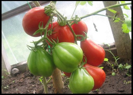 семена помидор для теплицы отзывы
