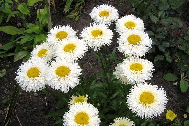 леукантемум выращивание из семян когда сажать