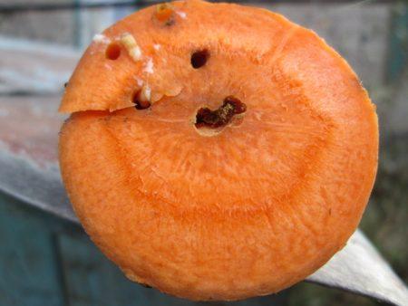 morkovnaya-muxa-kak-s-nei%cc%86-borotsya-sposoby
