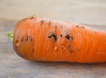Корнеплоды, поврежденные личинками морковной мухи.