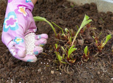 Уход за садовой земляникой после плодоношения.