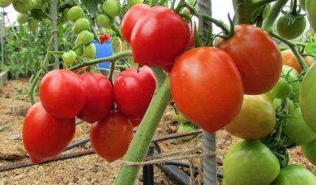 sorta-pomidorov-s-foto-i-opisaniem-dlya-teplic-iz-polikarbonata