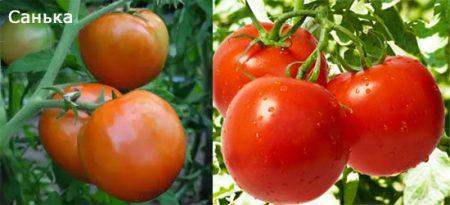 tomat-sanka-foto-otzyvy-urozhajnost