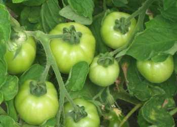 chto-sdelat-chtoby-pomidory-bystree-krasneli-v-teplice