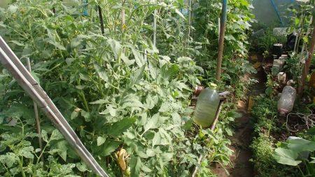 chto-sdelat-chtoby-pomidory-krasneli