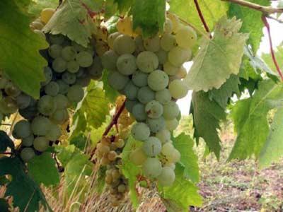 болезни винограда описание с фотографиями и способы лечения