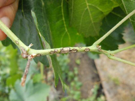 болезни винограда описание с фото способы лечения1