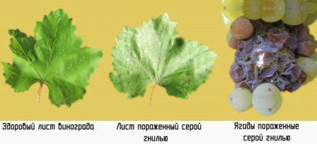болезни винограда серая гниль описание с фотографими способы лечения