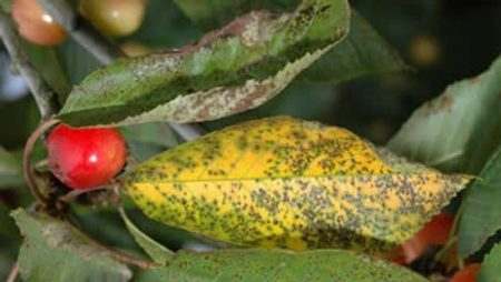 коккомикоз вишни, болезни вишни описание с фотографиями