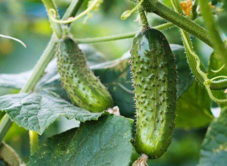 Огурцы в мешках: выращивание