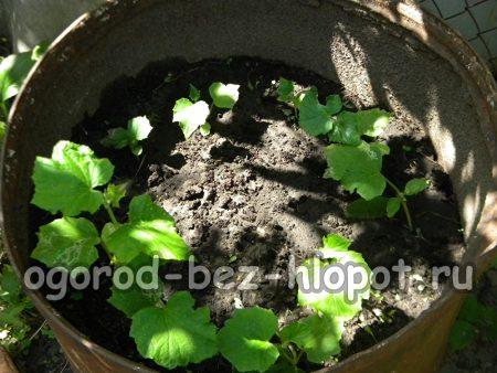 кустики огурцов в бочке при выращивании