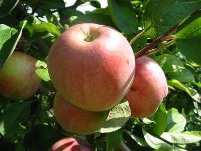 Яблоня Коричное Полосатое: описание