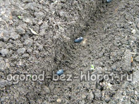 Разложите в борозде фасолины вигны на расстоянии 7-10 см друг от друга