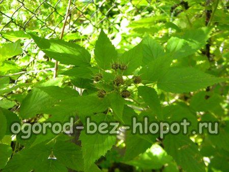 Плоды черной малины появляются на месте цветков