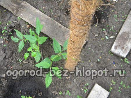 При выращивании вигны можно установить опору